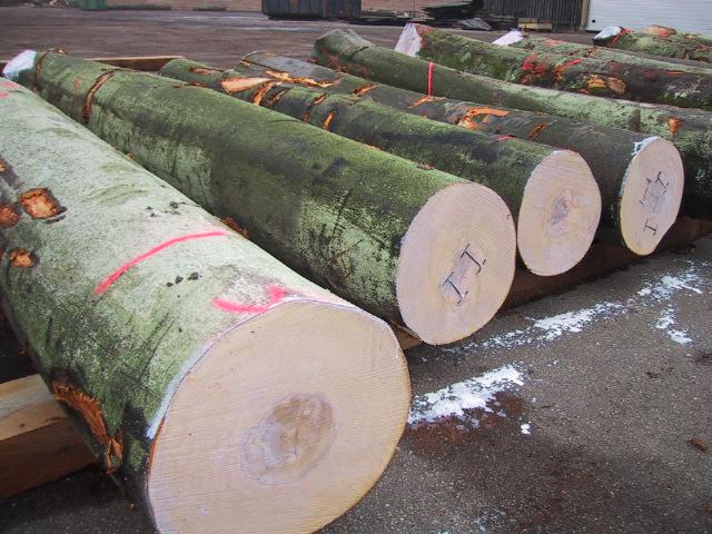 Beech Logs - Denmark